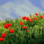 カラジュンに咲く花 ヒナゲシ(6月撮影)