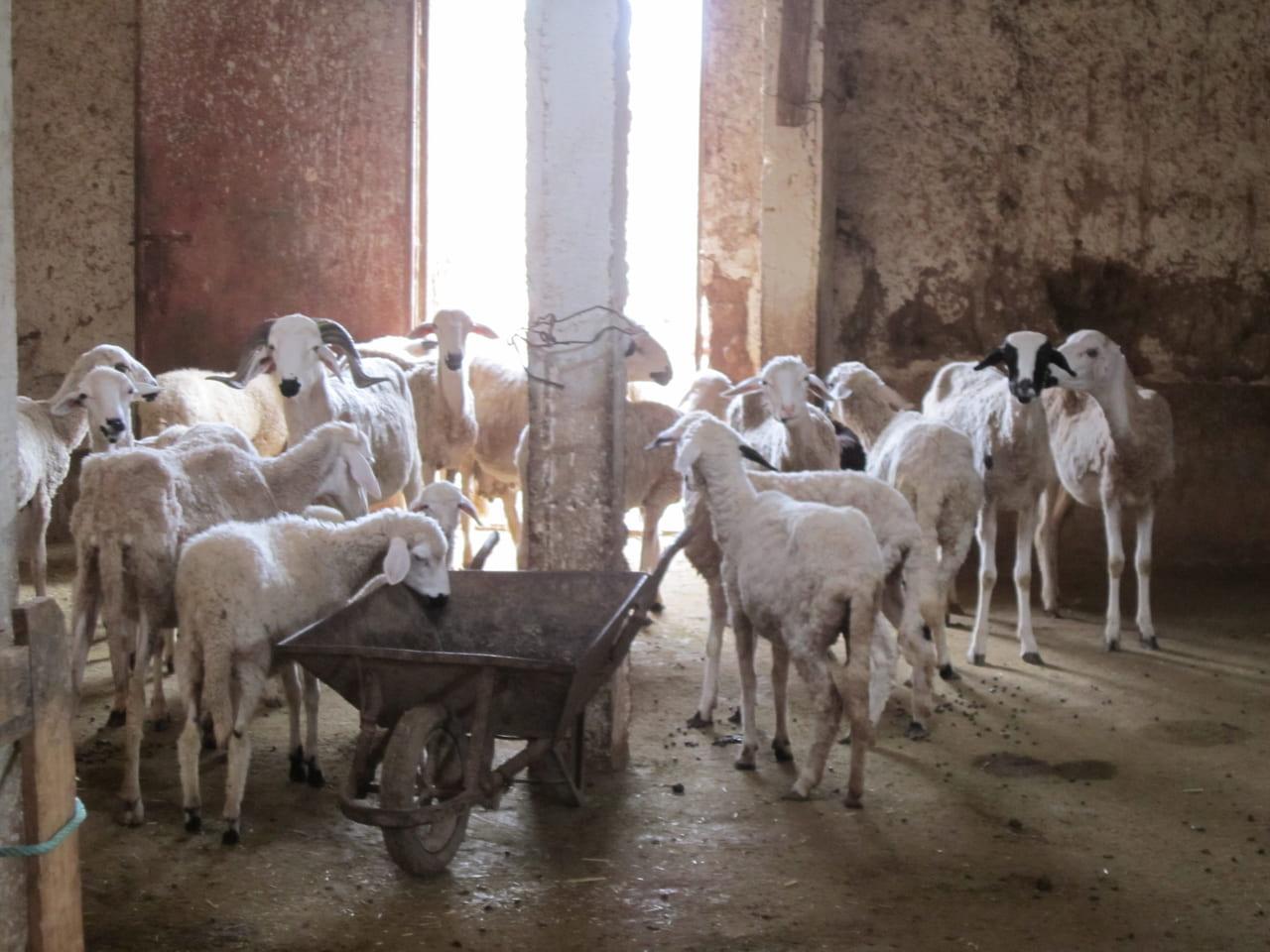 犠牲祭の前には羊の値段も高騰します