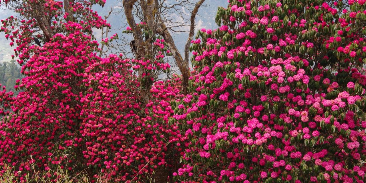 春はシャクナゲの森を歩きます