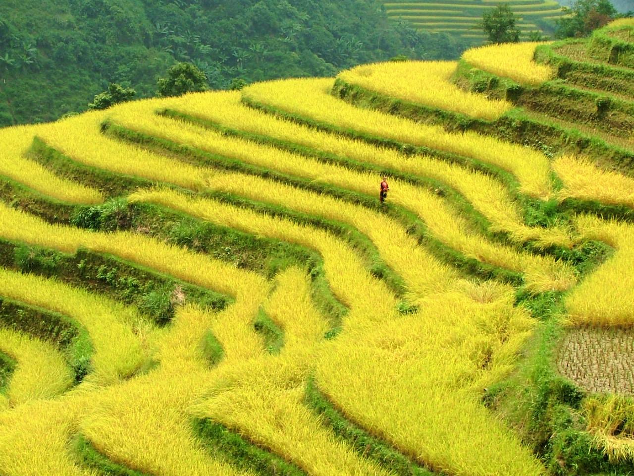 ベトナムの国家遺産になっているホアンスーフィー棚田とタパンザオ族(初秋)