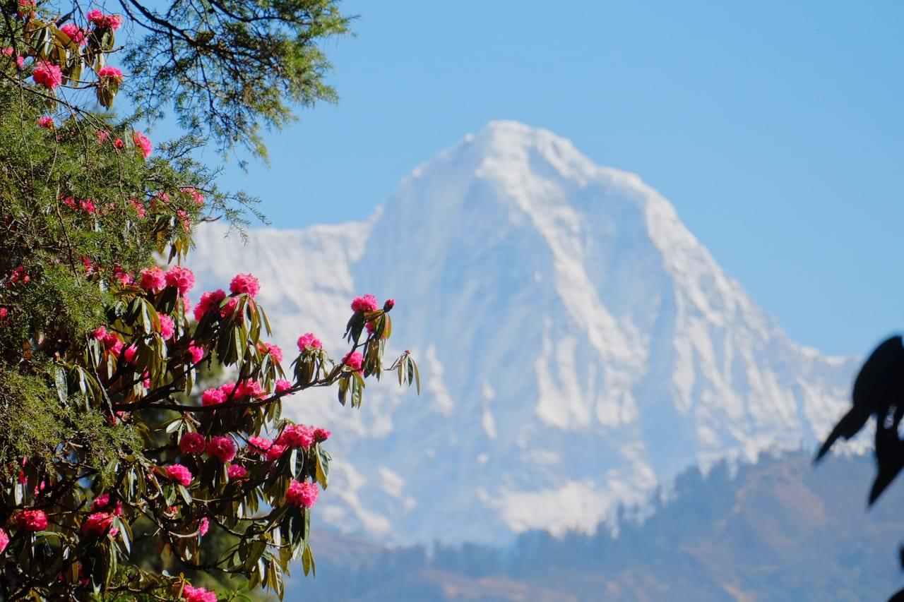アンナプルナサウスをバックに大輪を咲かせるシャクナゲの大木