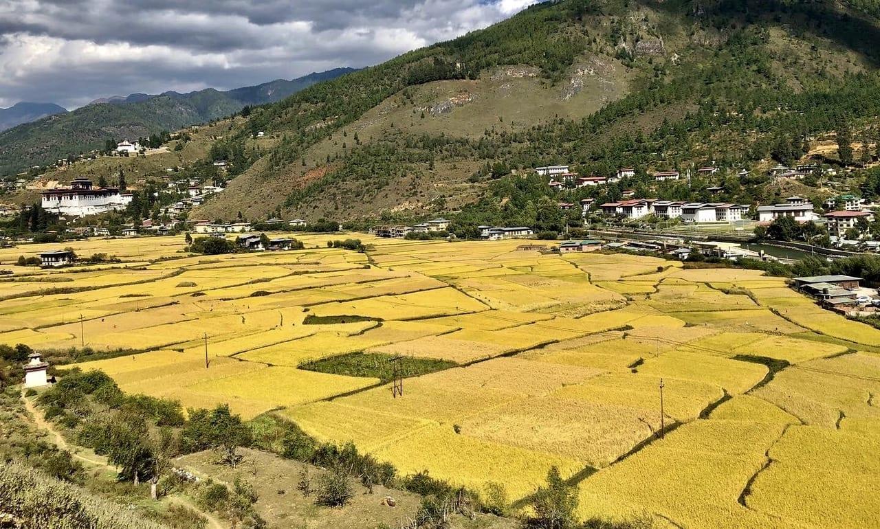 秋のブータン 黄色く色づいた田圃