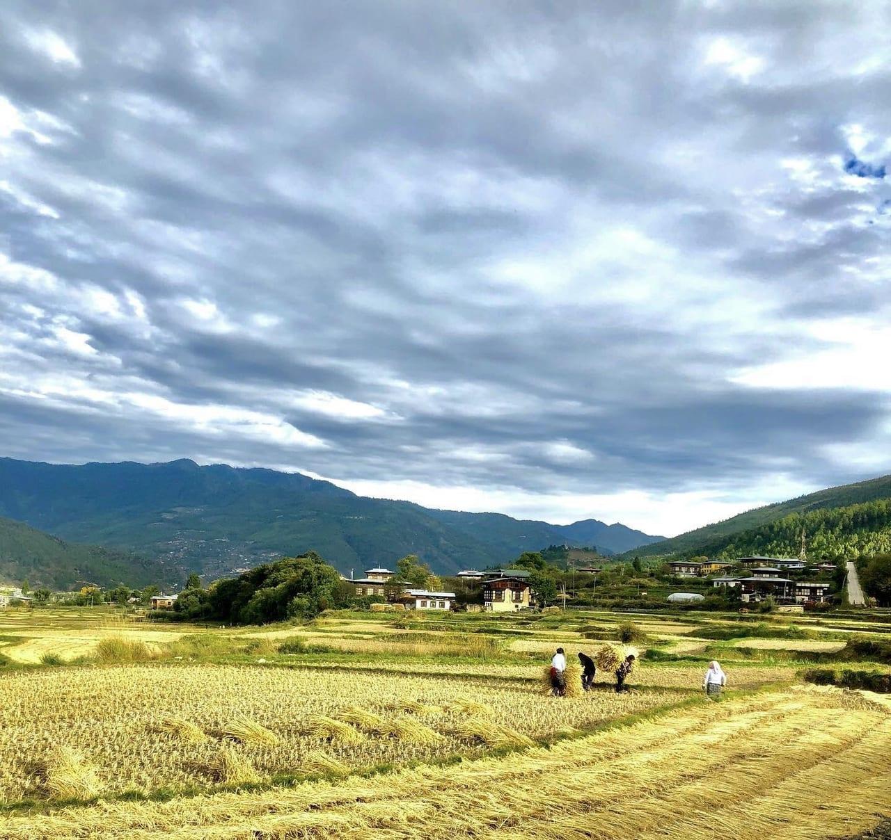 秋のブータン 稲刈り風景