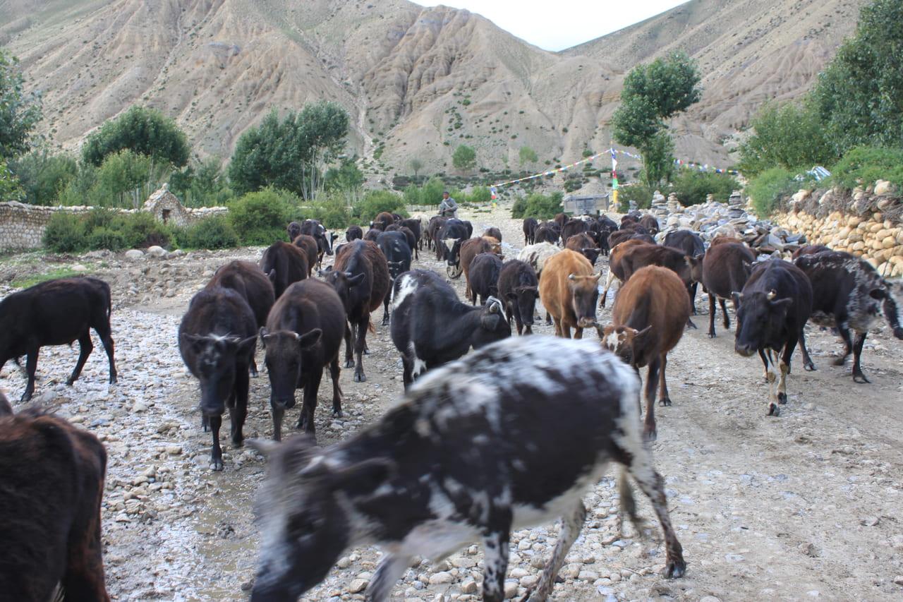 ゲミの村の中を悠然と歩く牛たち