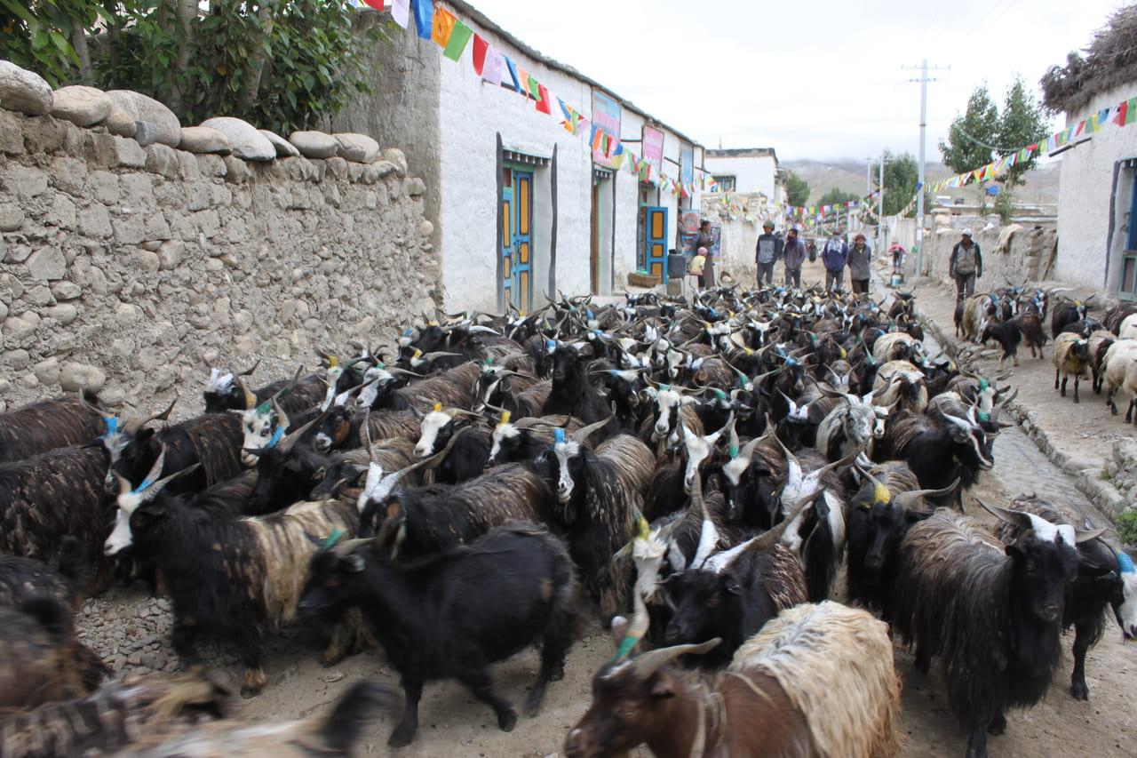 通りを占領するヤギの群