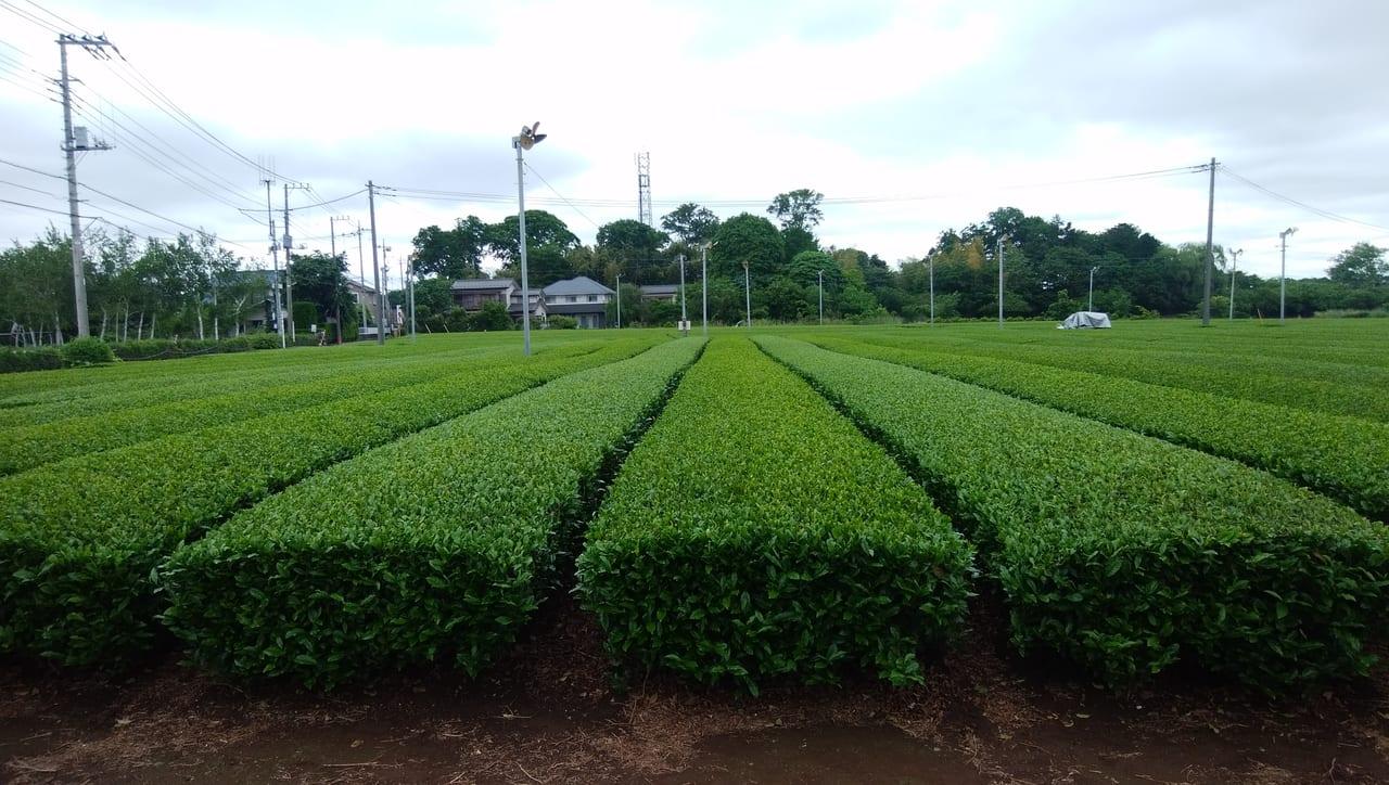 狭山茶のお茶畑