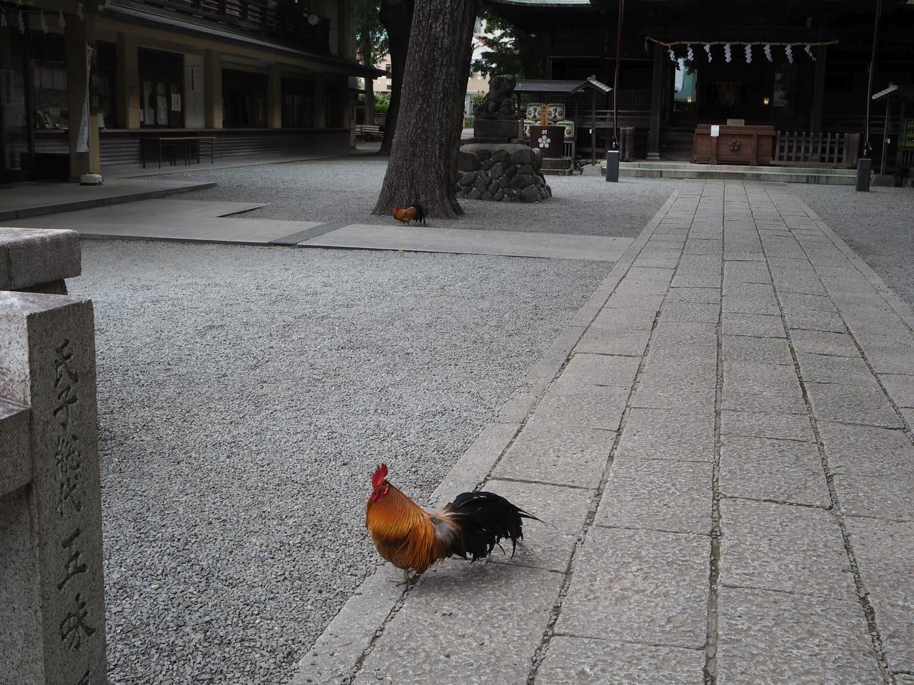 谷保天満宮にいた鶏
