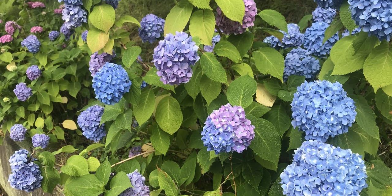 通勤途中に咲くアジサイに癒される日々