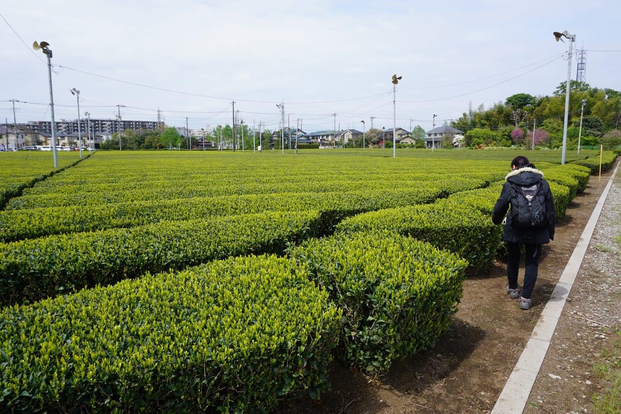 所沢市岩岡のお茶畑